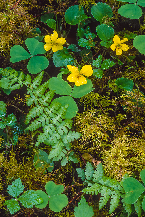 Yellow wood violet, forest understory, Olympic National Park, Washington, USA