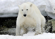 Polar Bear, Ursus maritimus, bading, Svalbard, Norway