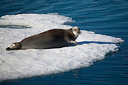 Bearded Seal, Erignathus barbatus or square flipper seal in Kane Basin, near Humboldt Glacier, North West Greenland