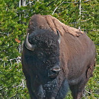 American Bison (Bison bison) stand amidst lodgepole pine in Yellowstone National Park, Wyoming.