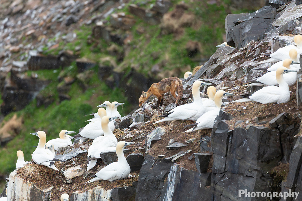 Red fox stares down a gannet hunting for eggs on a cliffside colony of birds