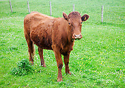 Brown calf on machair grassland grazing, Vatersay Island, Barra, Outer Hebrides, Scotland, UK