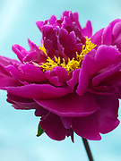 Paeonia lactiflora 'Shimmering Velvet' - peony