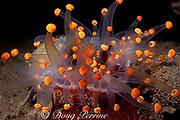 orange ball corallimorph or orange ball anemone, Pseudocorynactis caribbeorum, expanded at night, Dominica ( Eastern Caribbean Sea )