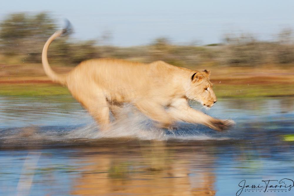 Motion blur of a lioness running in the water (Panthera leo), Kalahari Desert, Botswana Africa