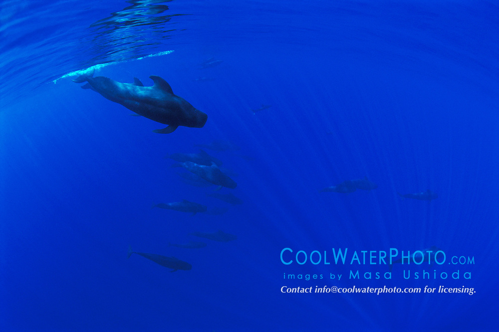 short-finned pilot whales, Globicephala macrorhynchus, Hawaii, Pacific Ocean