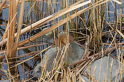 Bruine rat, Rattus norvegicus