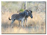 Plains Zebras in Kruger National Park, South Africa. Nikon D850, 200-400mm @ 220mm, f4, EV+0.67, 1/800sec, ISO400, Aperture priority
