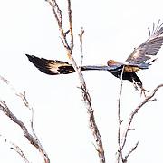 Wedge - Tailed Eagle