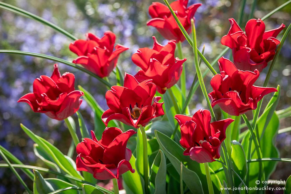 Tulipa 'Red Dress'