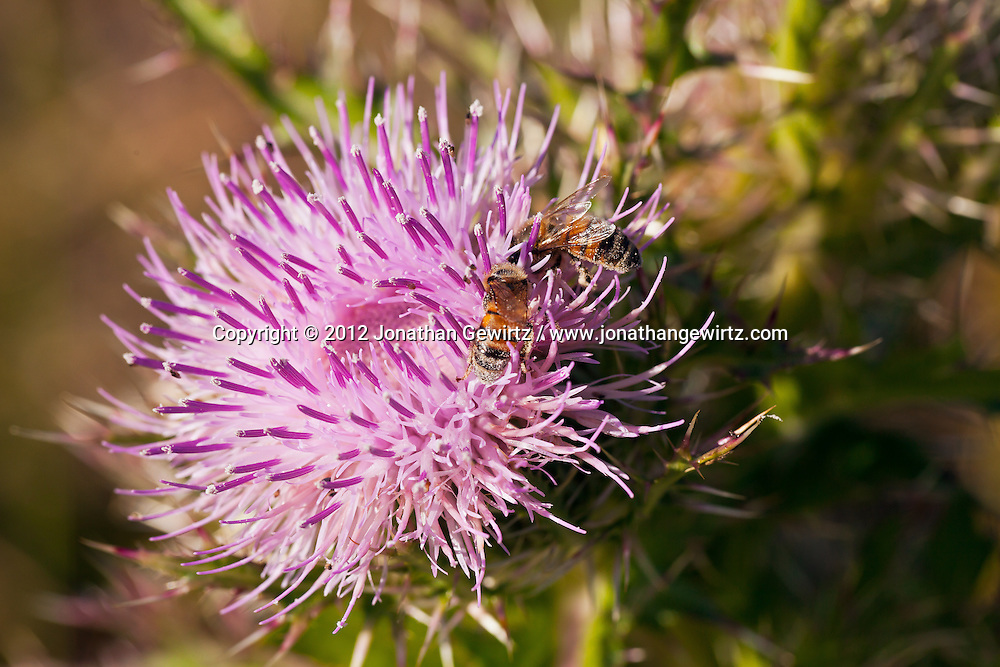 A pair of Honey Bees forages on a pink thistle flower in the Florida Everglades. WATERMARKS WILL NOT APPEAR ON PRINTS OR LICENSED IMAGES.