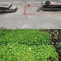 Nederland, Amsterdam, 30 september 2014.<br /> Op een creatieve broedplek aan de Wiltzanghlaan in A'dam West worden verschillende ideen uitgewerkt hoe en goed afwateringsysteem voor o.a. daken ontwikkeld kan worden via een duurzame weg, zoals hier het experiment om stukken asvalt open te halen om er vervolgens groente in te verbouwen+de groenplekken kunnen dienst doen als reservoir voor het bergen van water.<br /> Experimental development of a sound and sustainable drainage system, such as roofs and for example, growing vegetables in holes in asphalt  and serve as a reservoir for water storage.