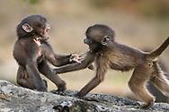 Zwei junge Dscheladas (Theropithecus gelada) beim Spielen, Simien Nationalpark, Debark, Region Amhara, Äthiopien<br /> <br /> Two young geladas (Theropithecus gelada) playing, Simien National Park, Debark, Amhara Region, Ethiopia