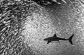 Shark Pond - Isla Guadalupe