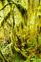 Hall of Mosses in the Hoh River Rain Forest. Olympic National Park, WA