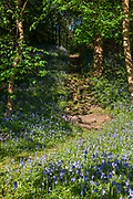 Bluebells at The Haining