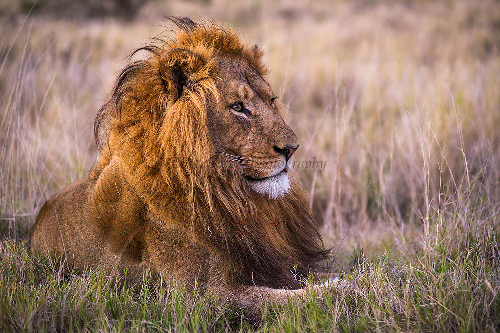 Lion (Panthera leo)<br /> Addo Elephant National Park<br /> Eastern Cape Province<br /> SOUTH AFRICA<br /> RANGE: Throughout sub-Saharan Africa