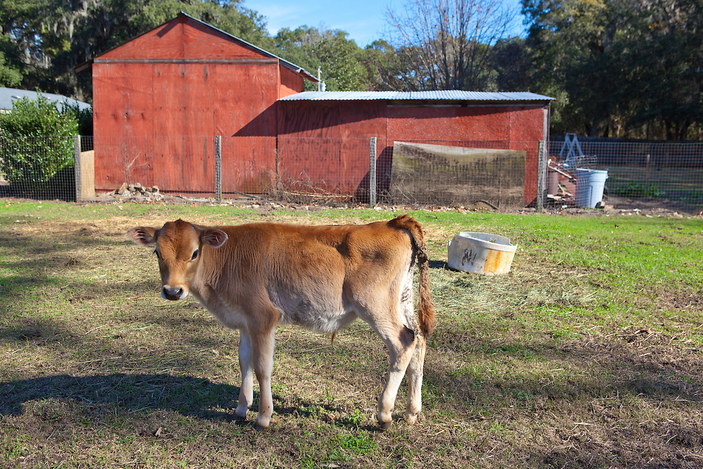 A jersey calf pauses in a pasture on Green Grocer Farm in Wadmalaw Island, South Carolina.