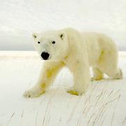 Polar Bear (Ursus maritimus) portrait. Cape Churchill, Churchill, Manitoba.Canada.