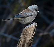 Dark-eyed Junco (Gray-headed species), Sandia Mountains, New Mexico.