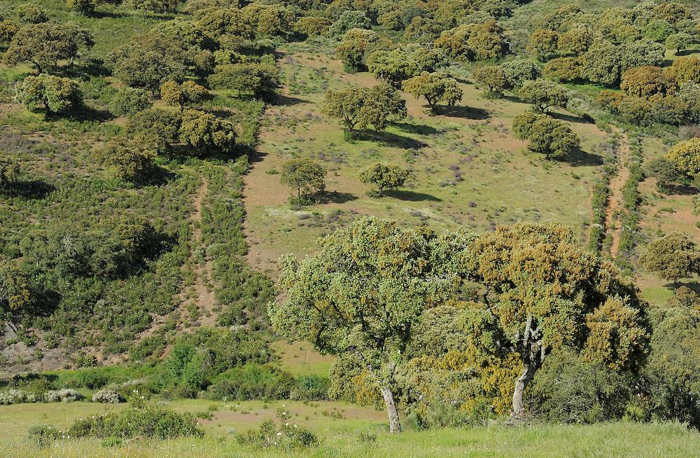 Dehesa forests with <br />  Holm oak (Quercus ilex) in Campanarios de Azába nature reserve, Salamanca Region, Castilla y León, Spain