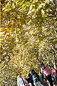 Students walking under fall (autumn) leaves.