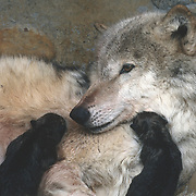 Adult gray wolf (Canis lupus) in the den giving birth, with newborn pups. Captive Animal
