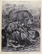 A Family Party of Hippopotami. The hippopotamus (Hippopotamus amphibius), also called the hippo, common hippopotamus or river hippopotamus, is a large, mostly herbivorous, semiaquatic mammal and ungulate native to sub-Saharan Africa. From the book ' Royal Natural History ' Volume 2 Edited by Richard Lydekker, Published in London by Frederick Warne & Co in 1893-1894