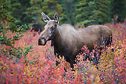 A moose cow (Alces alces gigas) stands in the colorful foliage of autumn in Alaska, Denali National Park, Alaska