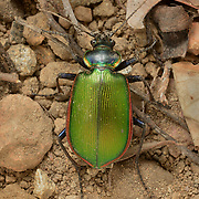 Caterpillar hunter, Calosoma scrutator. Photographed under controlled conditions during a Greatergood.org Madrean Discovery Expedition to Rancho Zulema in the Sierra Juriquipa of Sonora Mexico