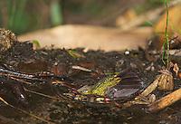 Tyrian metal-tail, Metallura tyrianthina, bathing in a shallow stream at Yanacocha Reserve, Ecuador