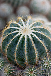 Notocactus magnificus - cactus