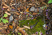 Dead monarch butterflies are scattered on the forest floor at the Sierra Chincua Biosphere Reserve January 20, 2020 near Angangueo, Michoacan, Mexico. The monarch butterfly migration is a phenomenon across North America, where the butterflies migrates each autumn to overwintering sites in Central Mexico.