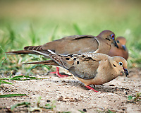 Mourning Dove (Zenaida macroura). Campos Viejos, Texas. Image taken with a Nikon D4 camera and 600 mm f/4 VR lens