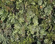 Wilson's Filmy Fern - Hymenophyllum wilsoni