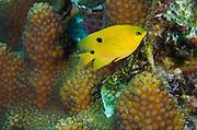 Threespot Damselfish Juvenile (Stegastes planifrons) & Great Star Coral (Montastraea cavernosa)<br /> BONAIRE, Netherlands Antilles, Caribbean<br /> HABITAT & DISTRIBUTION: Reef tops in areas of algae growth. <br /> Florida, Bahamas, Caribbean, Gulf of Mexico & Bermuda