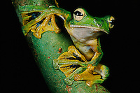 A Wallace's flying frog on a lichen-covered tree branch..This species was discovered by Alfred Russel Wallace..Danum Valley Conservation Area, Borneo Island.