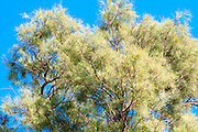 tamarix tree on blue sky background. Photographed in Jaffa, Israel