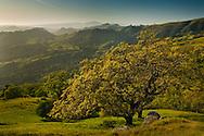 Oak trees and green hills in Spring, Sunol Regional Wilderness, Alameda County, California