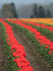United States, Washington, Mt. Vernon.  Skagit Valley Tulip Festival, held annual in April.