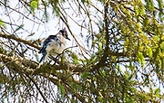 A blue jay adjusts its feathers in a tree at Long Lake in the Kettle Moraine Wisconsin State Forest on August 19, 2018.
