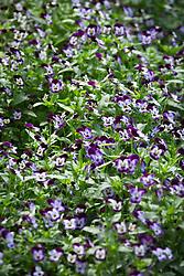 Viola hybrida 'Sorbet F1 Phantom'