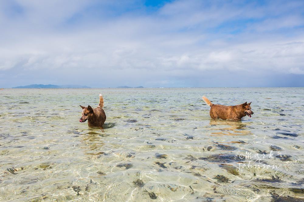 Dogs fishing on the reef flat of Vunanui Bay, Viti Levu, Fiji
