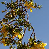 USA, California, San Diego County. Creosote flowers of Anza-Borrego Desert State Park.
