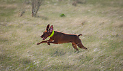 SHOT 5/9/20 8:45:31 AM - Various pointing breeds compete in the Vizsla Club of Colorado Licensed Hunt Test Premium at the Rocky Mountain Sporting Dog Club Grounds in Keenesburg, Co. (Photo by Marc Piscotty / © 2020)