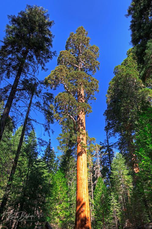 Giant Sequoia (Sequoiadendron giganteum), Trail of 100 Giants, Giant Sequoia National Monument, California