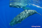 sperm whales, Physeter macrocephalus ( Endangered Species ), two females with a large calf swimming under the whale in back (and a third adult faintly visible below) Kona, Hawaii Island ( the Big Island ), Hawaii, U.S.A.  ( Central Pacific Ocean )