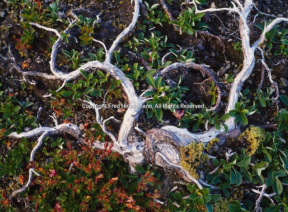 Volcanic cinder-blasted willow, Salix sp., clinging to life, Aniakchak Caldera, Aniakchak Naitonal Monument, Alaska.