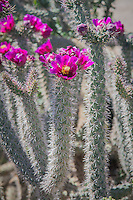 The cane cholla is a very common native cactus species found across much of Arizona and New Mexico in the United States, and Chihuahua and Sonora in Mexico. It prefers sandy to loamy soils at lower elevations, and has a lot of variety when it comes to flower color, and they are almost always very bright in color: yellow, pink, red, orange, etc. These were found just north of the Organ Pipe Cactus National Monument near Ajo, Arizona growing naturally in the Sonoran Desert on a bright, sunny spring morning near the Mexican border.