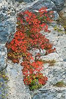 Smoke tree bush, Cotinus coggygria, Plitvice National park, Croatia